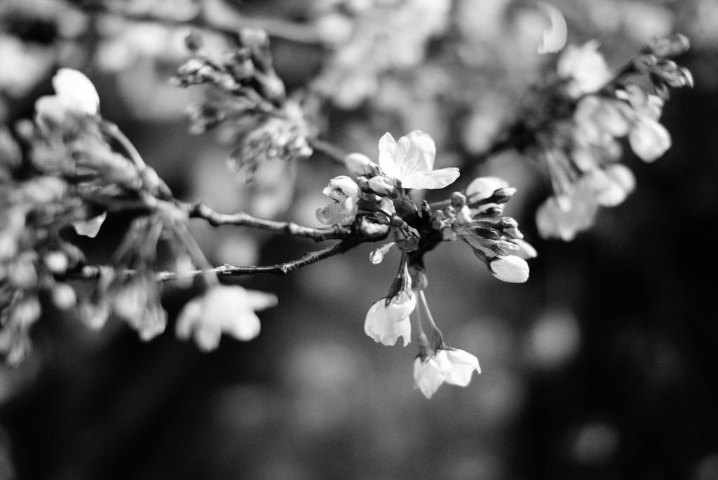 mono sakura