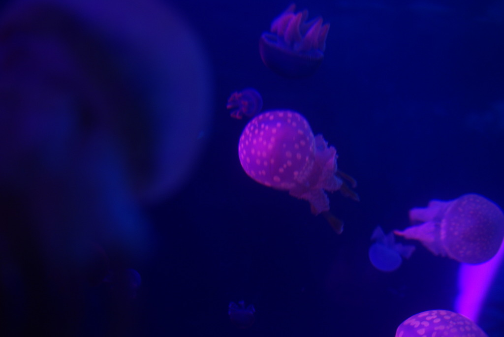 violet jellyfish