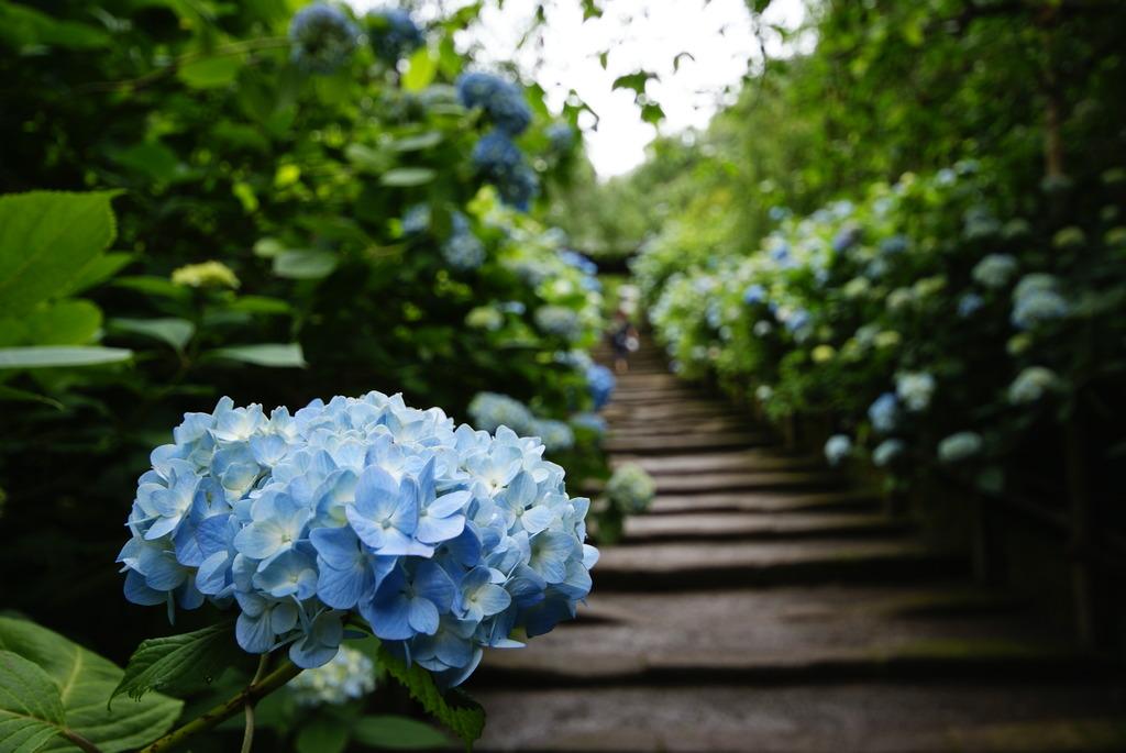 鎌倉の初夏