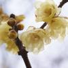yellow apricot