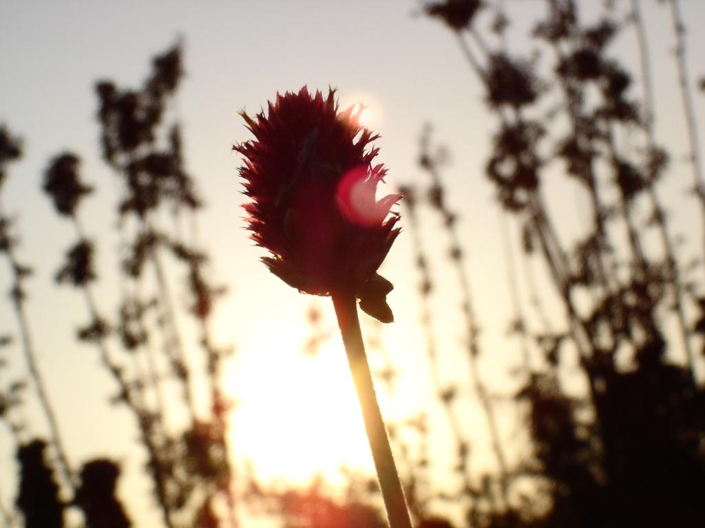 夕陽ともる千日紅