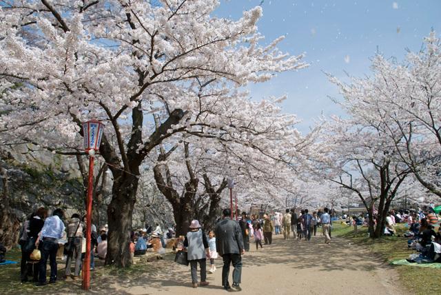桜in岩手公園