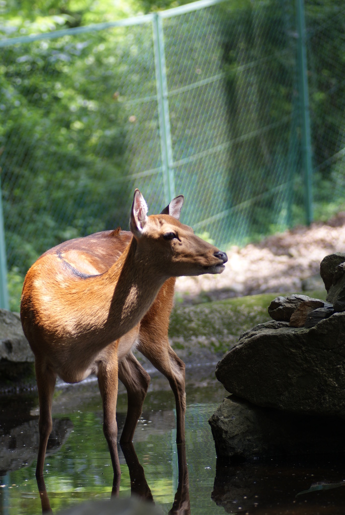 宝登山小動物公園の鹿