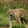 多摩動物公園のトラ