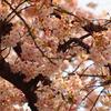 桃色咲き乱れ