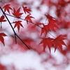 紅葉した紅葉
