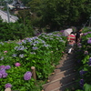 形原温泉の紫陽花