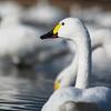 白鳥ポートレート