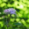 緑な紫陽花