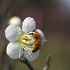 梅とミツバチ