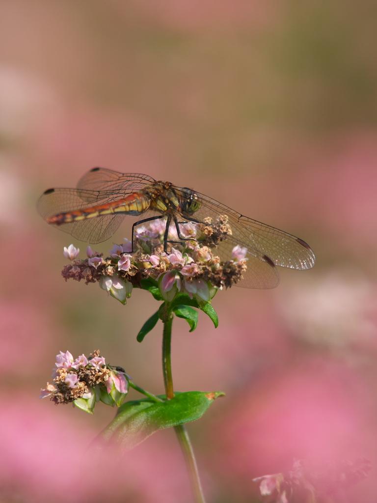 赤蕎麦蜻蛉