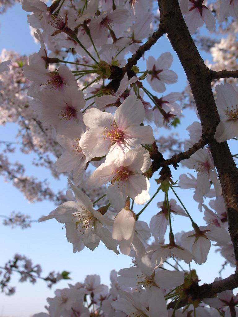 久米田池の桜
