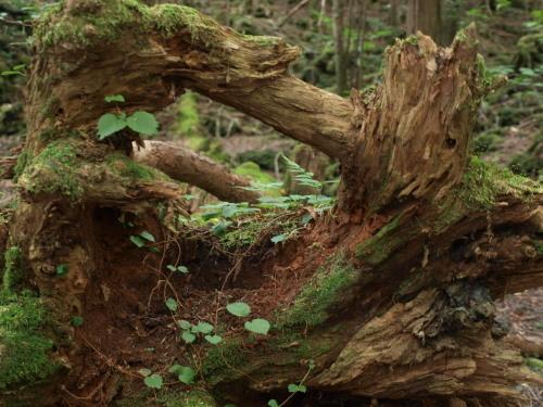 樹海 朽ちた樹に新芽