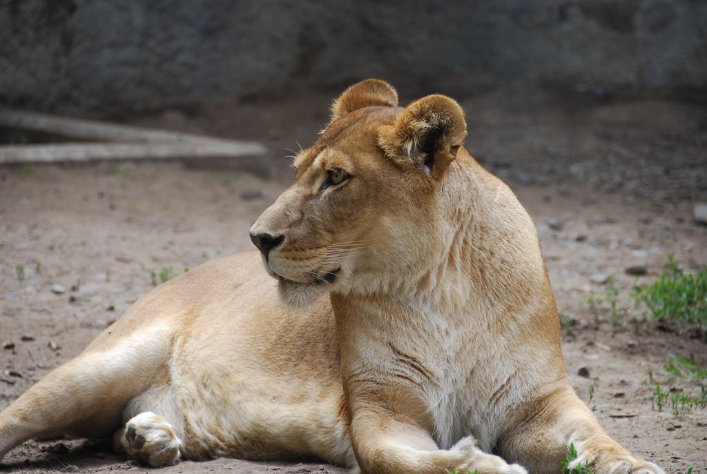 お母さんライオンの眼光