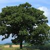 セブンスターの木1