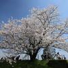 一本桜 in 権現堂(1)