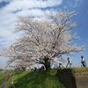 一本桜 in 権現堂(2)