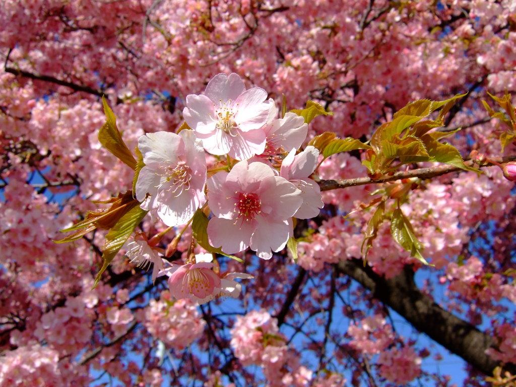 桜の満開の下@前橋