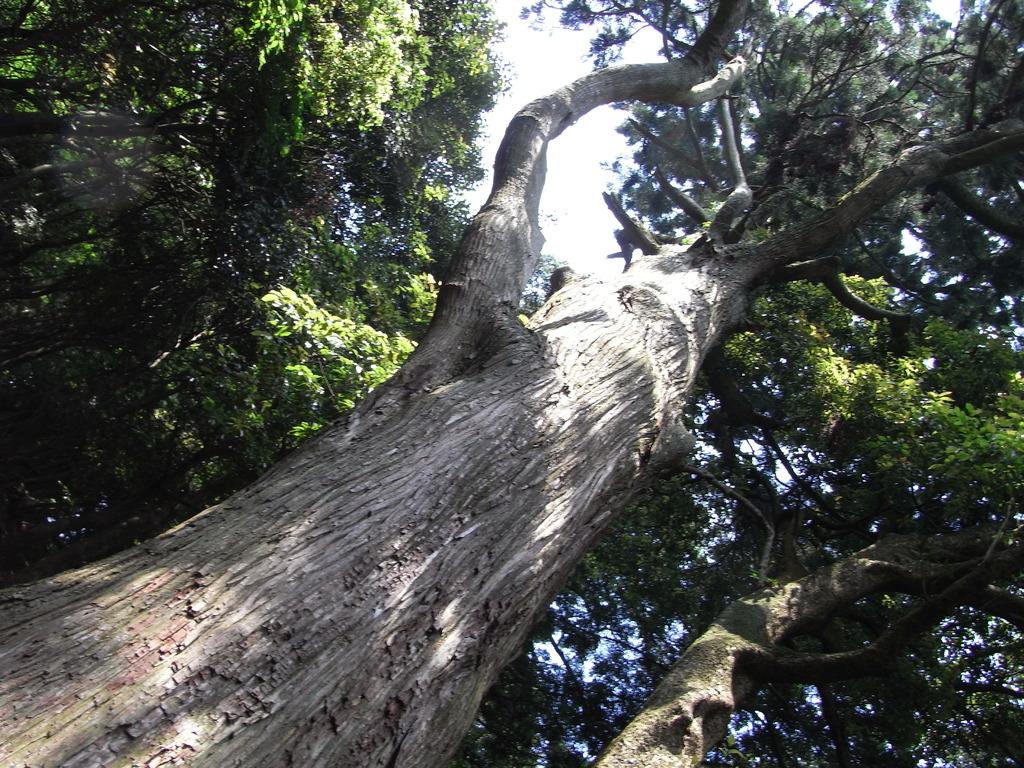 樹齢何年だろう?
