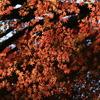 三渓園紅葉