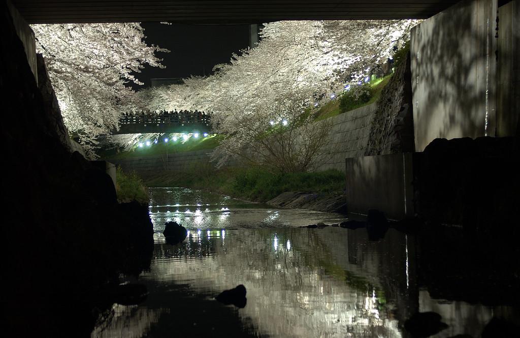 橋の下からの桜