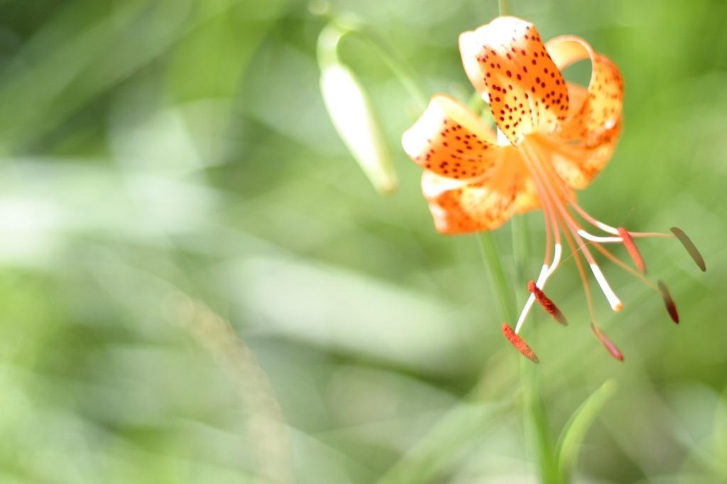 光に透ける花びら