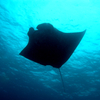 Perfect Manta-ray