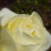 花言葉は 『恋心』