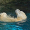 水を得た クマ