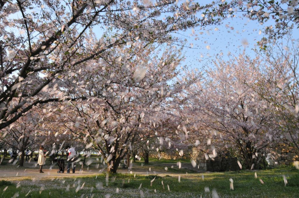 丸亀城 花吹雪