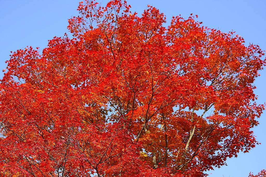紅葉(山中湖)