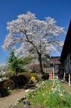 なつかしの学び舎 上岡小学校⑥桜と花壇に飾られて
