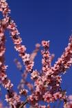 青空に咲く桃