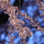 CANON Canon EOS 7Dで撮影した植物(朝の輝き)の写真(画像)