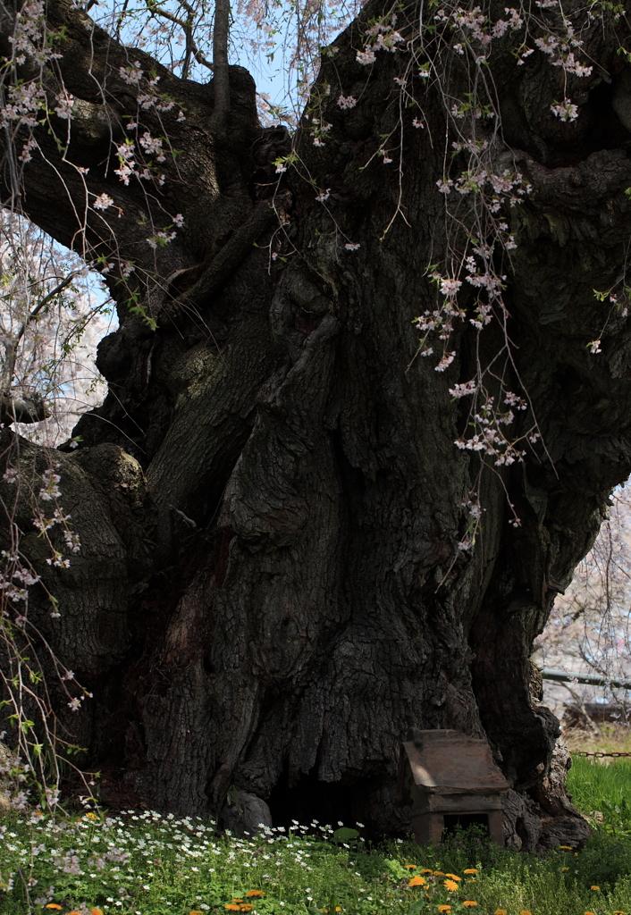 三春滝桜 幹    写真共有サイト