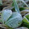 冷えた朝の霜花