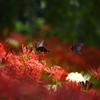 近所の彼岸花とクロアゲハ (1)