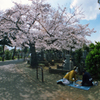 桜、墓地、将棋 II
