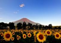赤富士に向日葵がお似合いⅡ