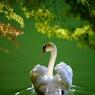 見返りの白鳥