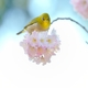 桜雲に乗る