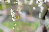 枝垂れウメジロウ(^O^)