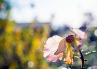 KODAK ProBack645で撮影した(冬の薔薇)の写真(画像)