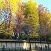 靖国神社の黄葉