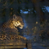night zoo - leopard