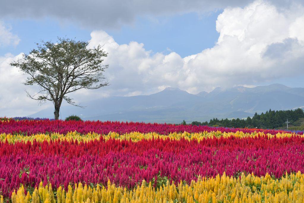 お花畑 最近ずっと土日は天気がよくありませんね。そんな中一瞬顔を覗かせた那須連... お花畑の写