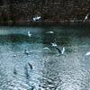 堀に舞う海鳥
