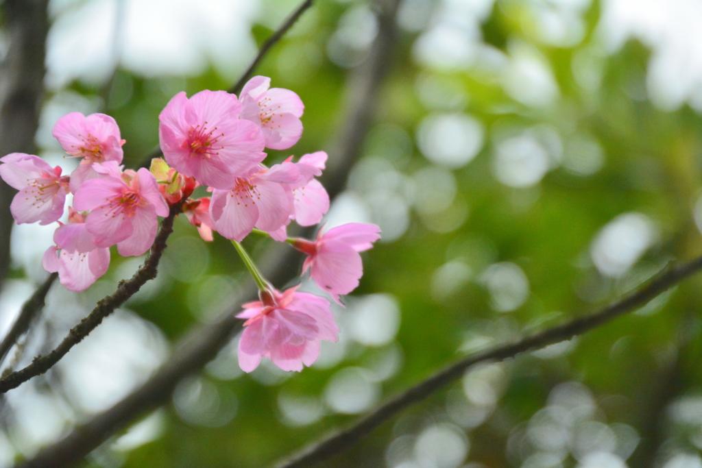 車折神社の桜3