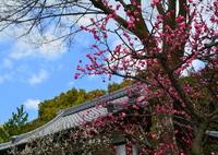 NIKON NIKON D7100で撮影した(城南宮・植木屋の梅1)の写真(画像)