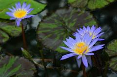 極楽浄土の花2